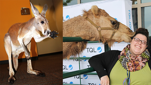 A Picture Of A woman Getting Kissed By A Camel Next To A Picture Of A Waving Kangaroo